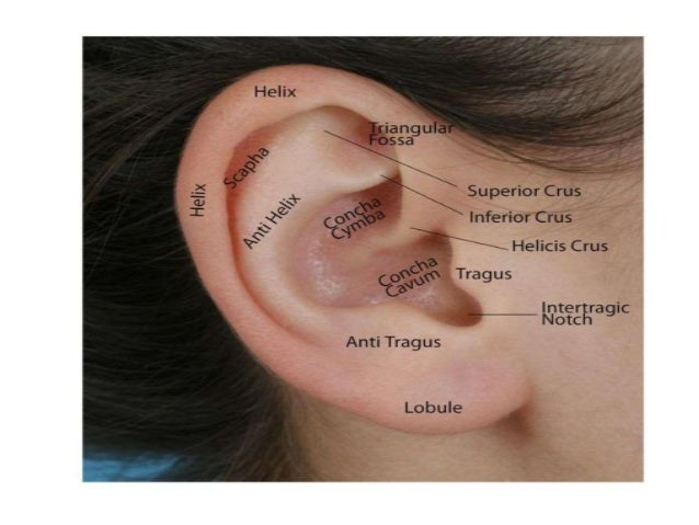 • Average adult female ear is 59 mm tall and the average male is 63mm tall. • 85 % of height of ear is achieved by 3 years...