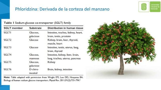 Phloridzina: Derivada de la corteza del manzano