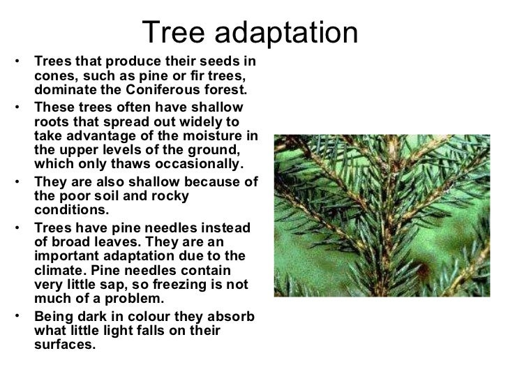 what adaptations do the pine trees have Limber pine trees, on the other hand, have needles in  currey was studying the variations in width of the rings of bristlecone pine trees,  but we do know one.