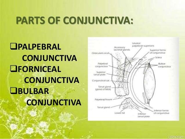 Conjunctiva Slide 3