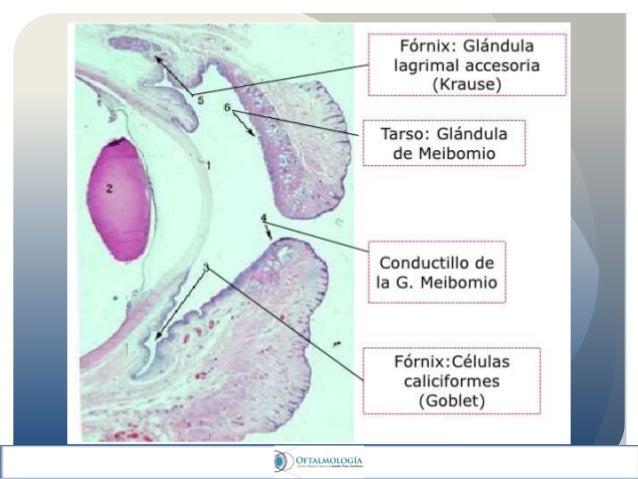 Conjuntiva ocular: anatomia y fisiologia