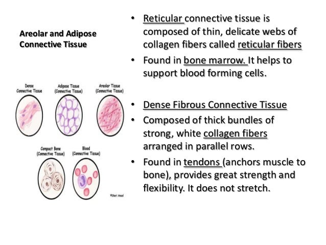 Anatomy and Physiology Connective Tissue Notes
