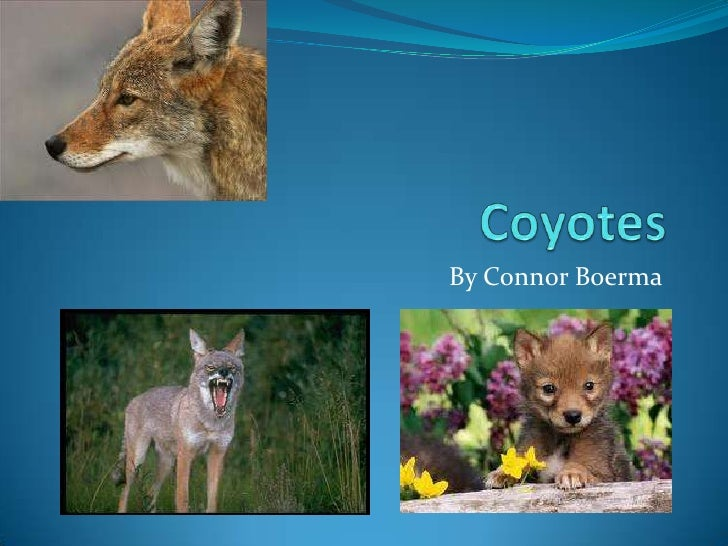 Coyotes<br />By Connor Boerma<br />