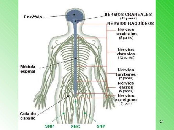 Asombroso Espina Dorsal Humana Y Los Nervios Fotos - Anatomía de Las ...