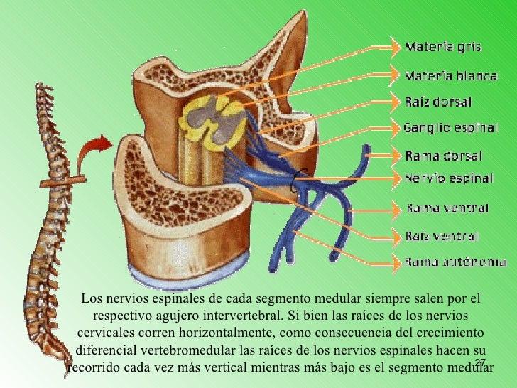 Contemporáneo Columna Vertebral Y El Nervio Anatomía Imágenes ...