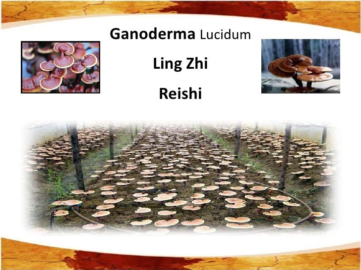 Ganoderma Lucidum     Ling Zhi     Reishi