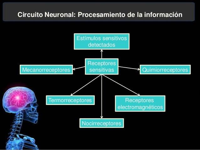 Circuito Neuronal : Cono de crecimiento neuronal
