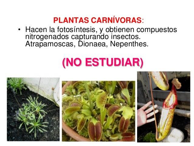 Estolones reproduccion asexual plantas carnivoras