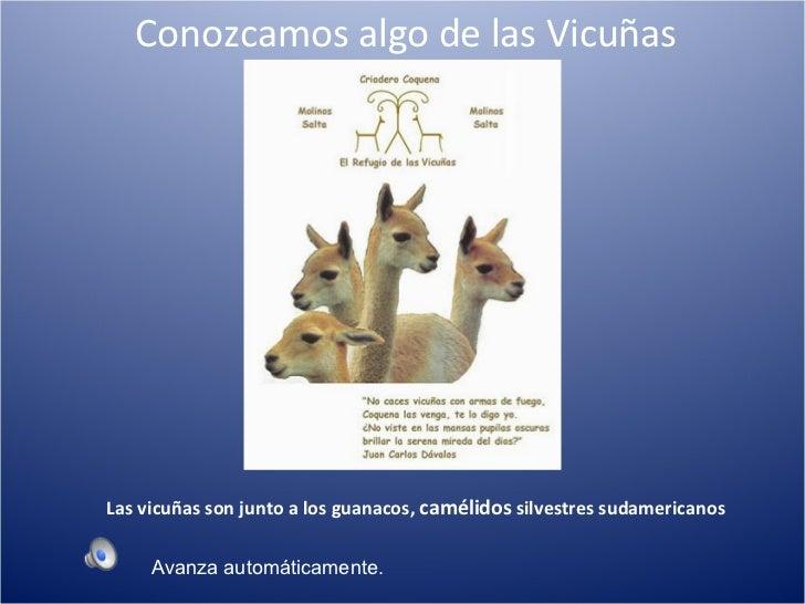 Conozcamos algo de las Vicuñas Las vicuñas son junto a los guanacos,  camélidos  silvestres sudamericanos Avanza automátic...