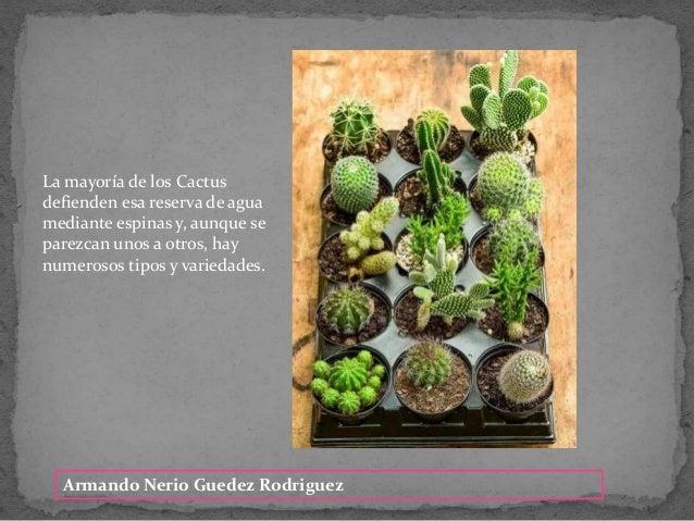 Armando Nerio Guedez Rodriguez La mayor�a de los Cactus defienden esa reserva de agua mediante espinas y, aunque se parezc...