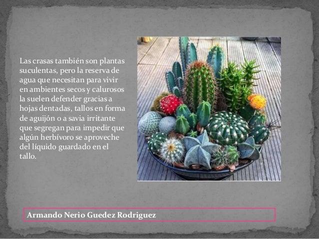 Armando Nerio Guedez Rodriguez Las crasas tambi�n son plantas suculentas, pero la reserva de agua que necesitan para vivir...