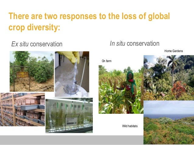 conservation of genetic diversity Genetic resources and genetic diversity from plantbreeding jump to in situ conservation of genetic resources on a global scale seems to be increasing with the.