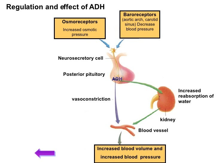 what is the effect of adh