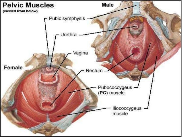 perineal muscles male