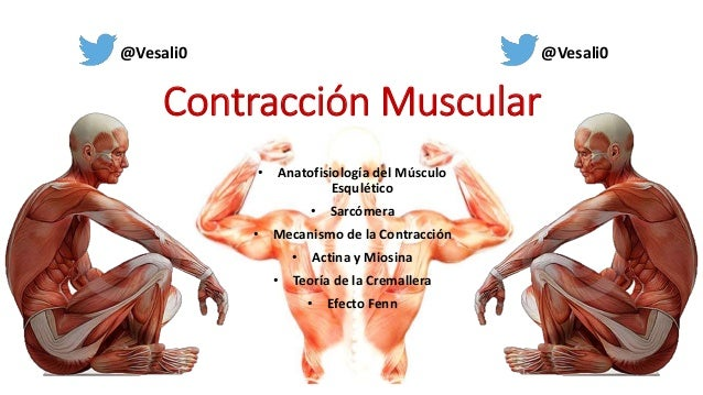• Anatofisiología del Músculo Esqulético • Sarcómera • Mecanismo de la Contracción • Actina y Miosina • Teoría de la Crema...