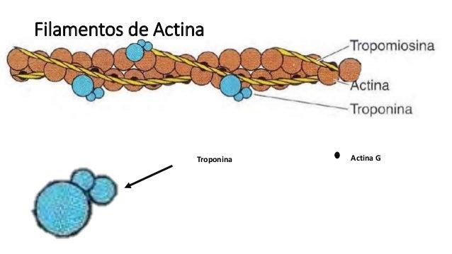 Fisiología - Contracción muscular (Sarcomero, Actina ...