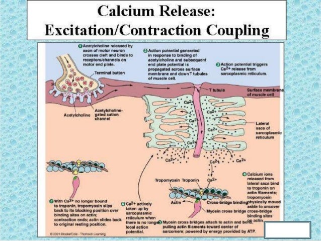 excitation contraction coupling in smooth muscle