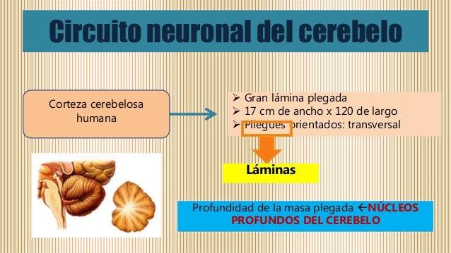 Circuito Neuronal : Contribuciones del cerebelo y los ganglios basales al