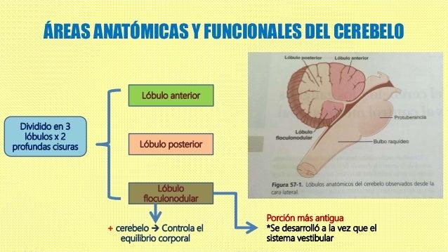 Contribuciones del cerebelo y los ganglios basales al control motor g…