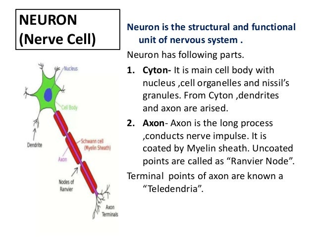 Control and coordination nervous system 5 neuron nerve ccuart Choice Image