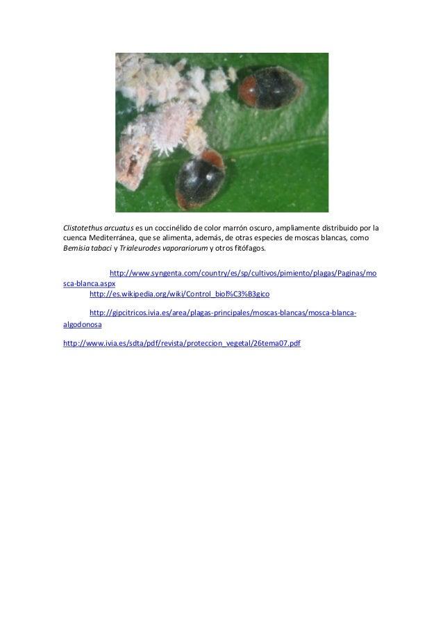 Clistotethus arcuatus es un coccinélido de color marrón oscuro, ampliamente distribuido por lacuenca Mediterránea, que se ...