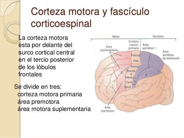 Control de la función motora por la corteza