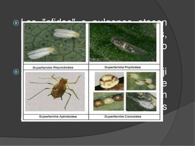 """ Los """"afidos"""" o pulgones atacan principalmente las hojas nuevas, las cuales no alcanzan el tamaño normal. Se controla con..."""