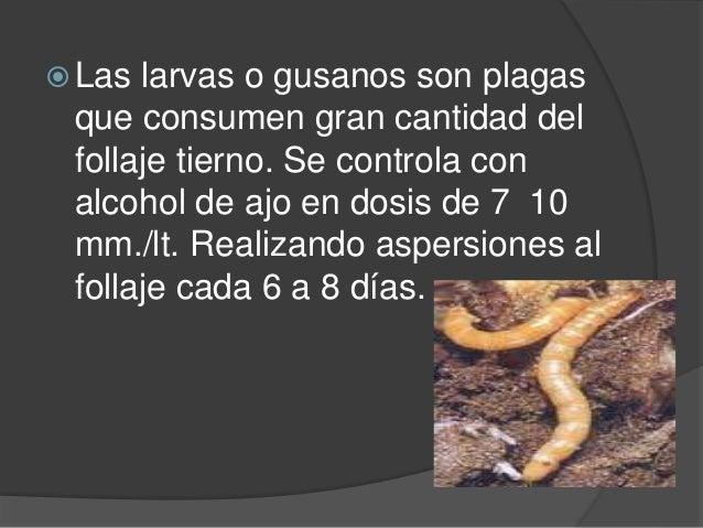  Las larvas o gusanos son plagas que consumen gran cantidad del follaje tierno. Se controla con alcohol de ajo en dosis d...
