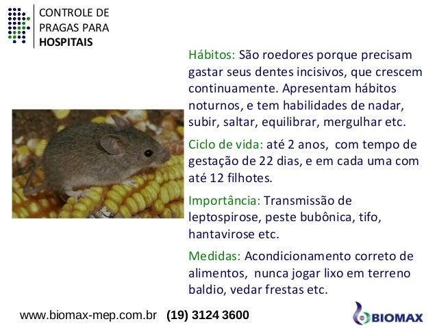 Hábitos: São roedores porque precisam  gastar seus dentes incisivos, que crescem  continuamente. Apresentam hábitos  notur...