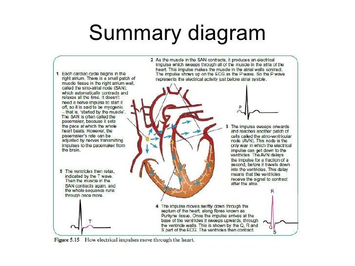 control of heart beat rh slideshare net normal heartbeat diagram heartbeat diagram labeled