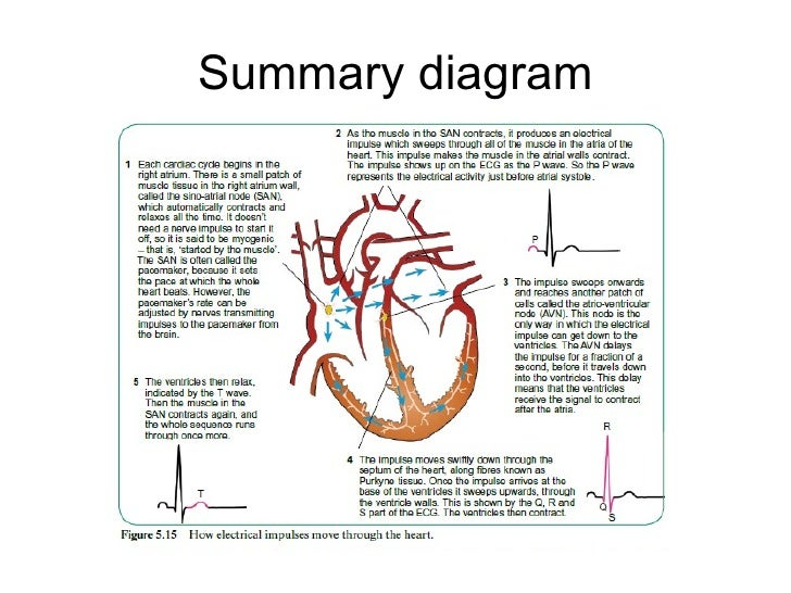 Control of heart beat diagram of heart showing san avn and purkyne tissue 10 ccuart Image collections