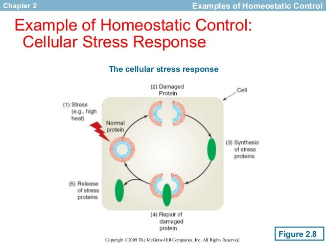 homeostasis response to stress Homeostasis is a central pillar of modern physiology  wj welchmammalian stress response: cell physiology, structure/function of stress proteins,.