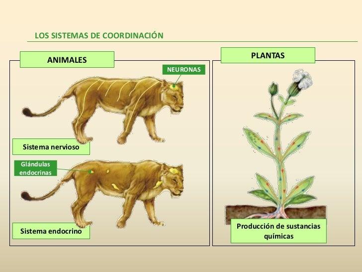 LOS SISTEMAS DE COORDINACIÓN        ANIMALES                                  PLANTAS                                   NE...