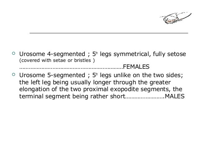  Urosome 4-segmented ; 5th legs symmetrical, fully setose (covered with setae or bristles ) …………………………………………………………FEMALES...