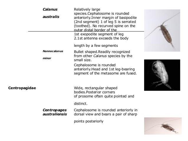 Calanus australis Relatively large species.Cephalosome is rounded anteriorly.Inner margin of basipodite (2nd segment) 1 of...