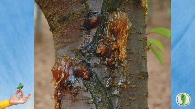 باکتریای شانکر بیماریی دار هسته میوه درختان شانکر بیماری با مقابله راههای