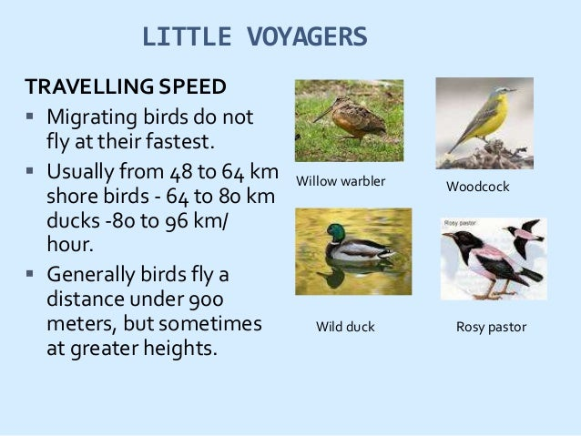 DANGERS FACED BY LITTLE VOYAGERS  sudden storms  bright lights attract and confuse the birds.  Predators  Competition ...