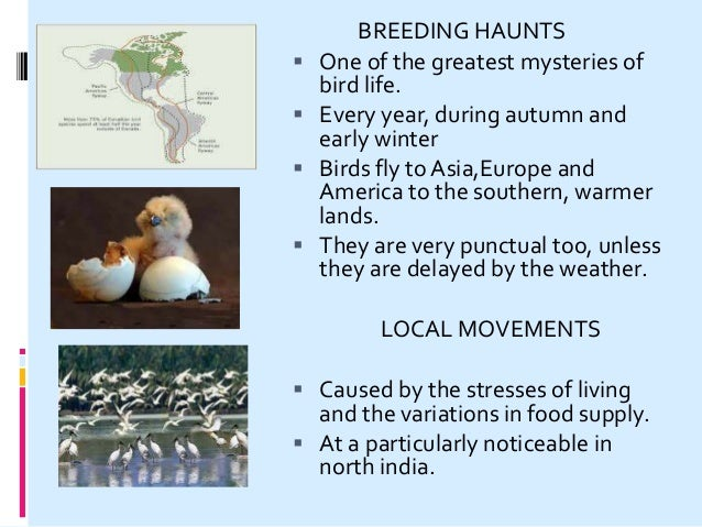 LITTLE VOYAGERS TRAVELLING SPEED  Migrating birds do not fly at their fastest.  Usually from 48 to 64 km shore birds - 6...