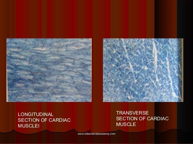 LONGITUDINAL SECTION OF CARDIAC MUSCLEI TRANSVERSE SECTION OF CARDIAC MUSCLE www.indiandentalacademy.comwww.indiandentalac...