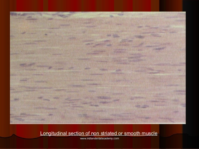 Longitudinal section of non striated or smooth muscle www.indiandentalacademy.comwww.indiandentalacademy.com