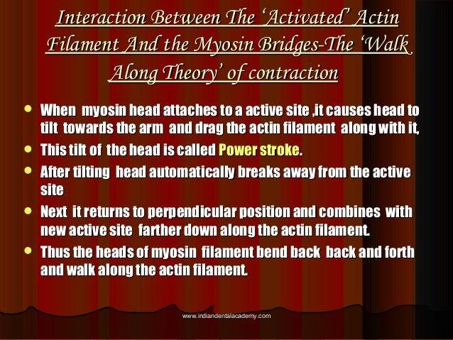 Interaction Between The 'Activated' ActinInteraction Between The 'Activated' Actin Filament And the Myosin Bridges-The 'Wa...
