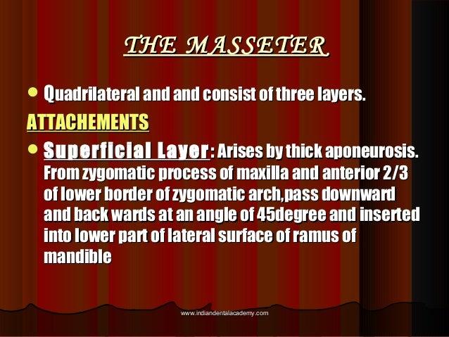 THE MASSETERTHE MASSETER QQuadrilateral and and consist of three layers.uadrilateral and and consist of three layers. ATT...