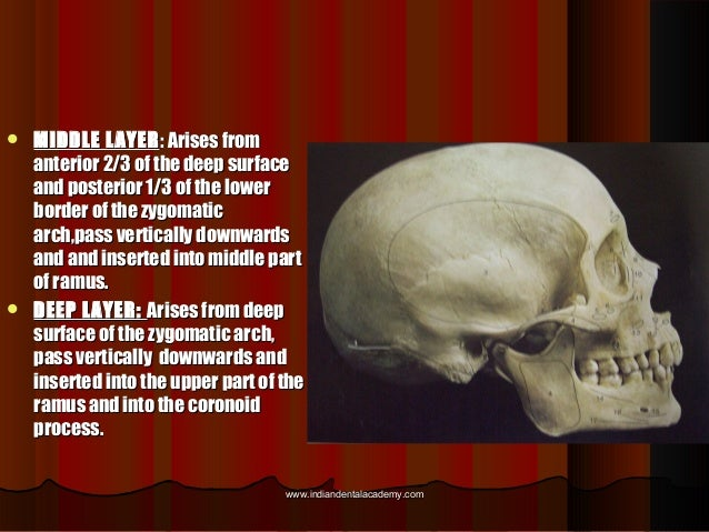  MIDDLE LAYERMIDDLE LAYER: Arises from: Arises from anterior 2/3 of the deep surfaceanterior 2/3 of the deep surface and ...