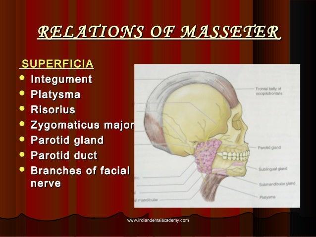RELATIONS OF MASSETERRELATIONS OF MASSETER SUPERFICIASUPERFICIA  IntegumentIntegument  PlatysmaPlatysma  RisoriusRisori...