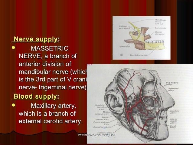 Nerve supplyNerve supply ::  MASSETRICMASSETRIC NERVE, a branch ofNERVE, a branch of anterior division ofanterior divisio...