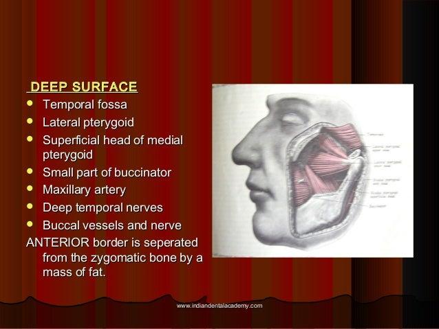 DEEP SURFACEDEEP SURFACE  Temporal fossaTemporal fossa  Lateral pterygoidLateral pterygoid  Superficial head of medialS...
