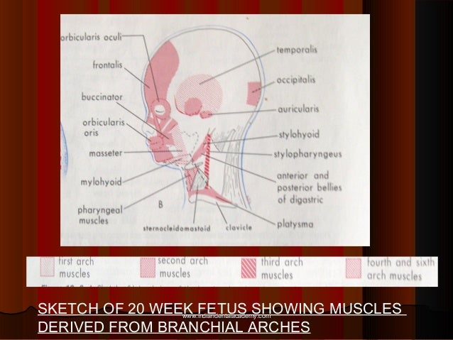 SKETCH OF 20 WEEK FETUS SHOWING MUSCLES DERIVED FROM BRANCHIAL ARCHES www.indiandentalacademy.comwww.indiandentalacademy.c...
