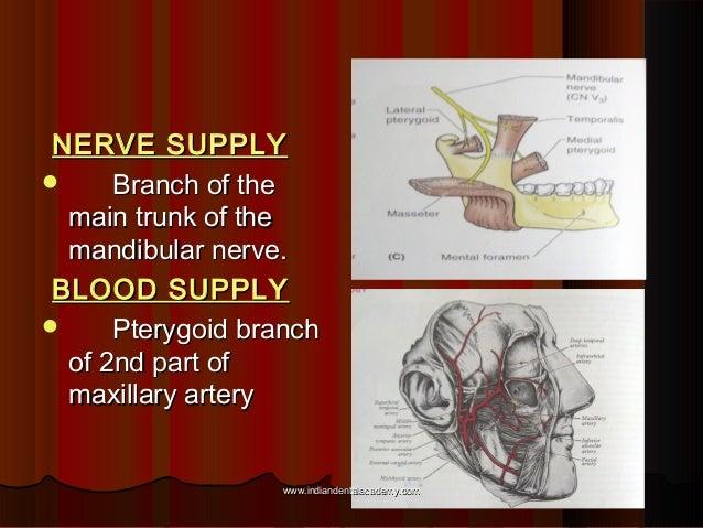 NERVE SUPPLYNERVE SUPPLY  Branch of theBranch of the main trunk of themain trunk of the mandibular nerve.mandibular nerve...