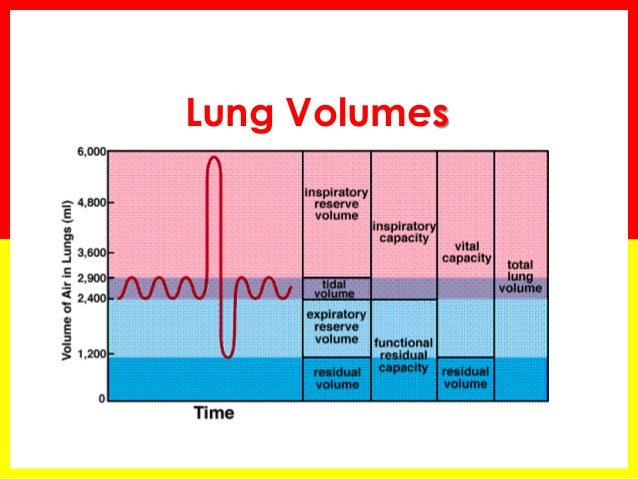 lung capacities and the anatomy and Anatomy of the lungs  when the body requires greater volumes of air entering  the lungs, such as during exercise, the bronchioles dilate to permit greater.
