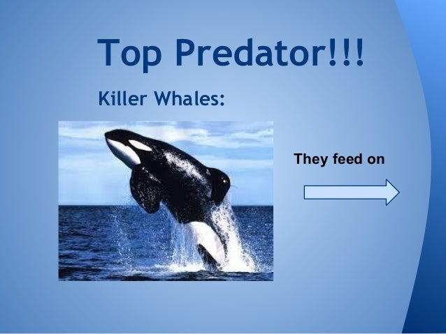 Killer Whale Food Chain Pictures